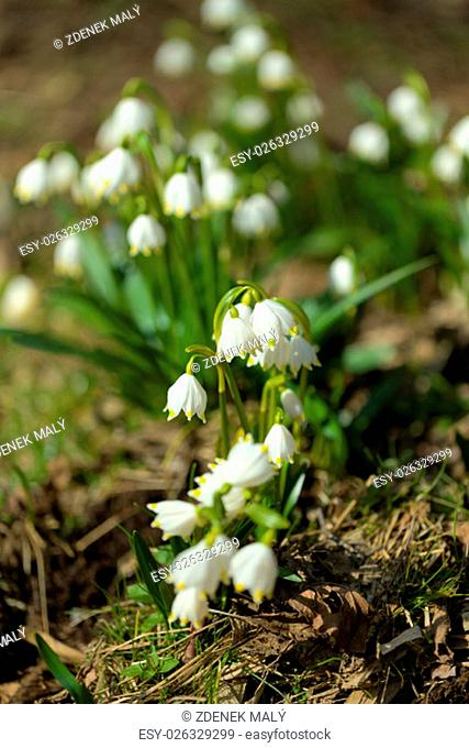 early spring snowflake flowers in march, leucojum vernum, group in a spring forest