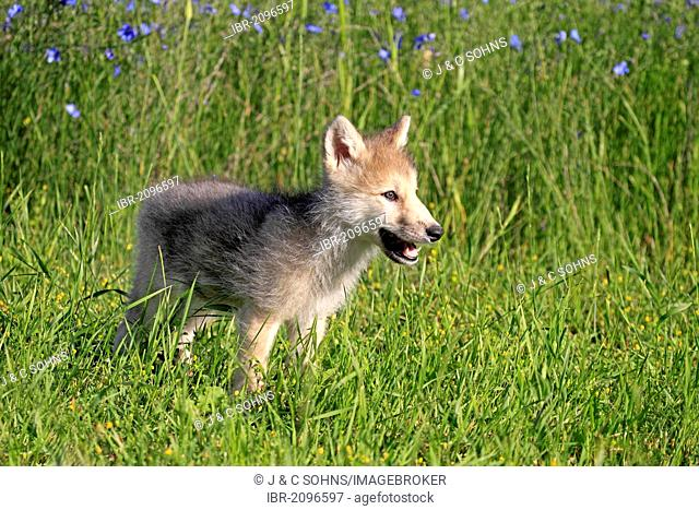 Wolf (Canis lupus), pup, eight weeks, meadow, Montana, USA, North America