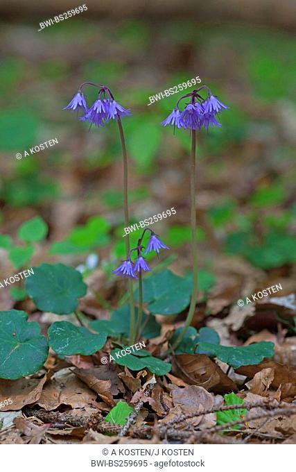 moonwort Soldanella montana, blooming, Germany