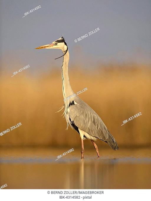 Grey heron (Ardea cinerea), adult standing, morning light, National Park Kiskunsag, Hungary