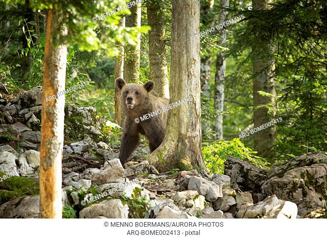 A female wild brown bears in a forest of the Notranjska region of Slovenia. This area is known for fascinating karst phenomena, such as Lake Cerknica