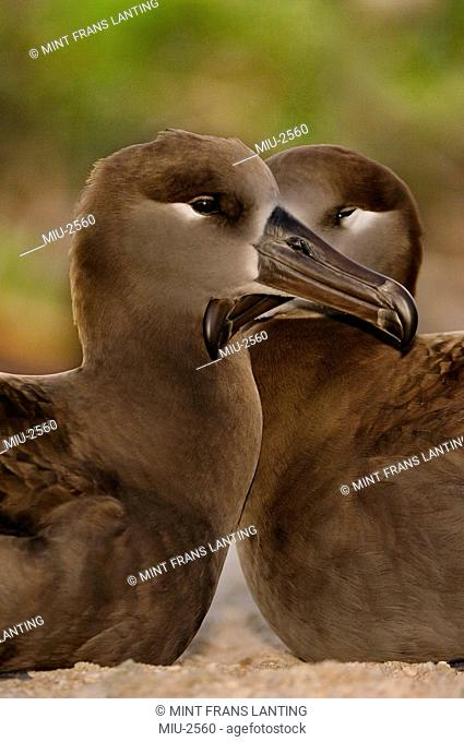 Black-footed albatross pair, Phoebastria nigripes, Tern Island, Hawaiian Leeward Islands