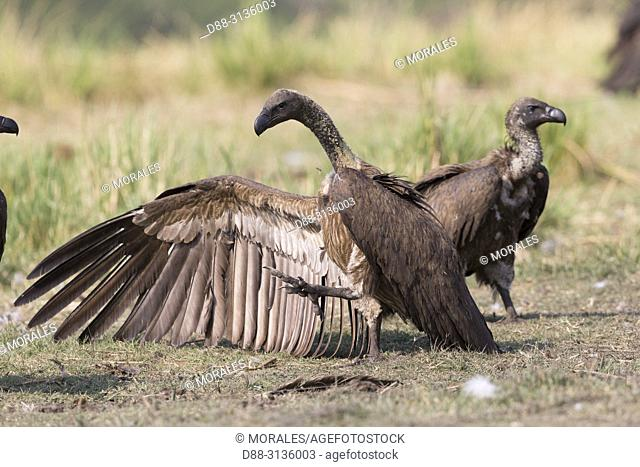 Africa, Southern Africa, Bostwana, Chobe i National Park, Chobe river, White-backed vulture (Gyps africanus), adult
