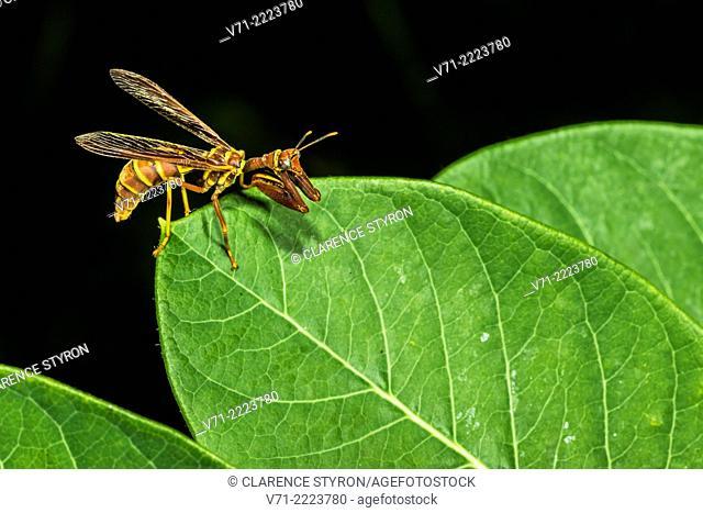 Mantidfly (Climaciella brunnea) Preening and Hunting on Indian Hemp (Apocynum cannabinum) Leaf