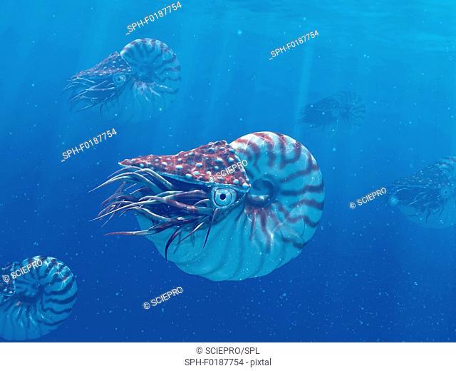 Nautilus, illustration