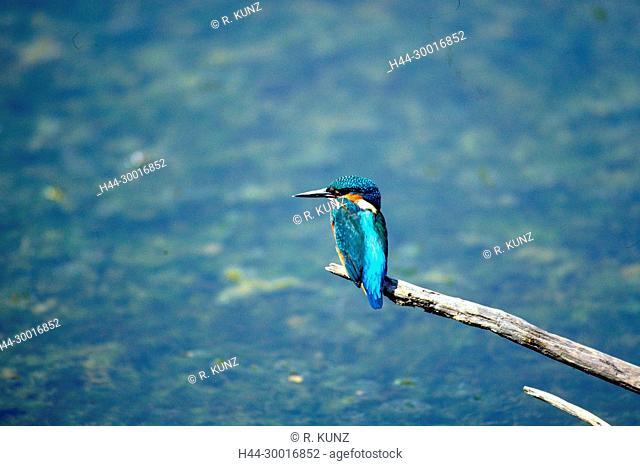 Common Kingfisher, Alcedo atthis, Alcedinidae, Kingfisher, bird, animal, Camargue, Bouches-du-Rhône department, Provence, France