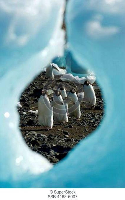 antarctica, antarctic peninsula, devil island, adelie penguins walking on beach, view through hole in ice pebble