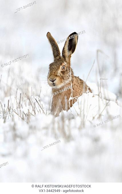Brown Hare / European Hare / Feldhase ( Lepus europaeus ) in winter, sitting in snow, watching curious, looks funny, wildlife, Europe