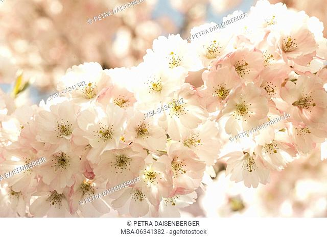 ornamental cherry tree blossoms in the spring