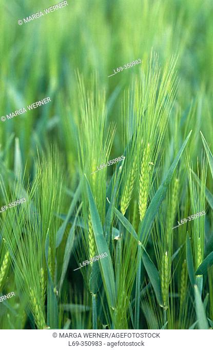 Barley. North Germany