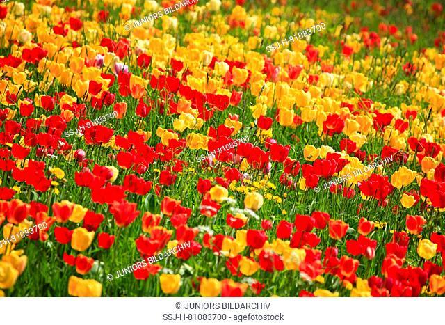 Flowering colorful tulips (Tulipa sp.). Germany