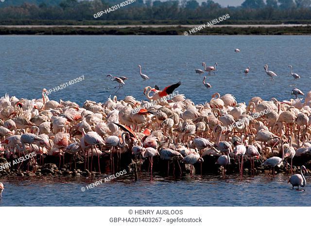 France, Camargue, Greater Flamingo, Phoenicopterus, 03/05/2011