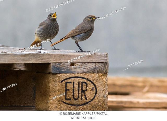 germany, saarland, homburg - A black redtail is searching for fodder