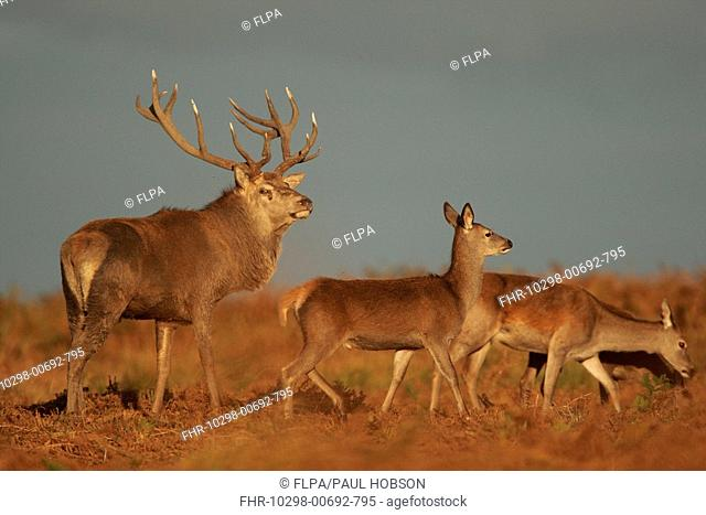 Red Deer Cervus elaphus stag with hinds, during rutting season, Bradgate Park, Leicestershire, England
