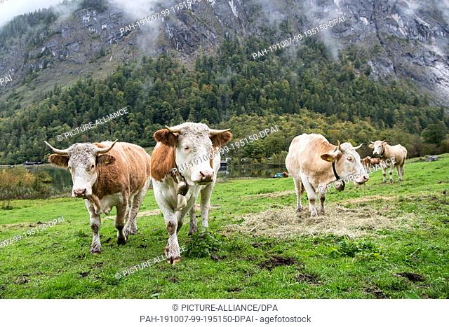 07 October 2019, Bavaria, Schönau Am Königssee: Cows stand before the crossing from the Saletalm over the Königssee to Schönau in the direction of their pasture...