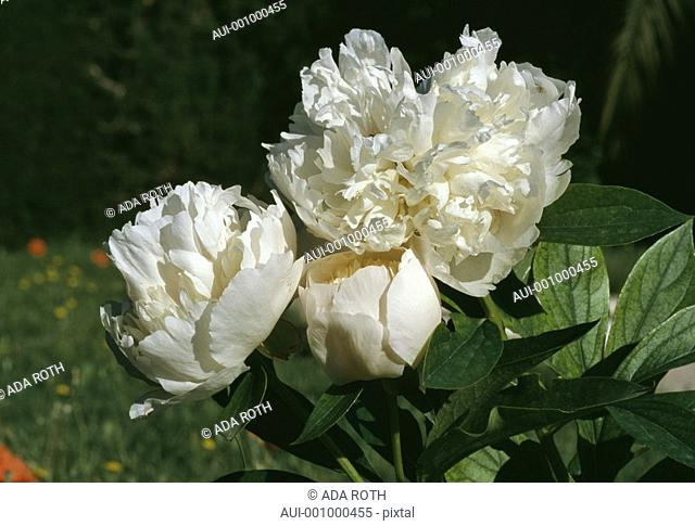 Paeonia -white- a bunch of successive blooms and longer lasting spring fragrance