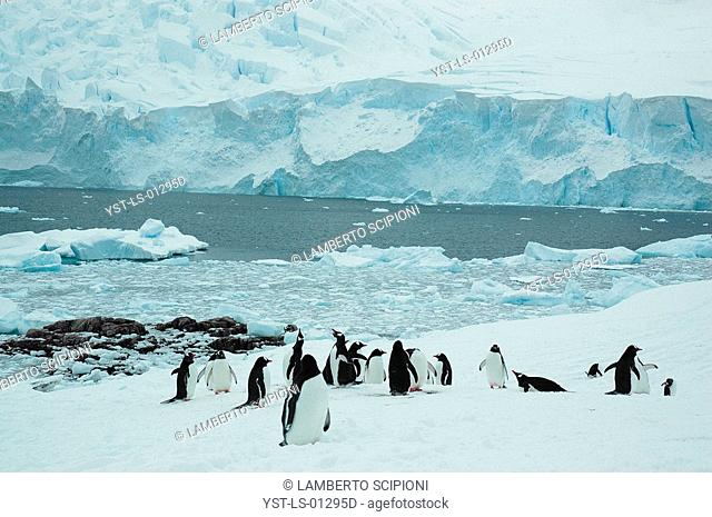 Animal, Penguin, Polar Desert, Cuvervil, South Pole, Antarctica