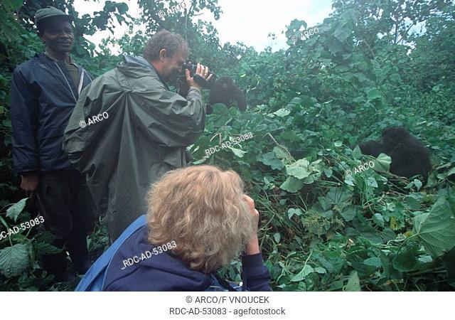 Tourists with guide photographing Mountain Gorilla Zaire Congo Gorilla gorilla beringei