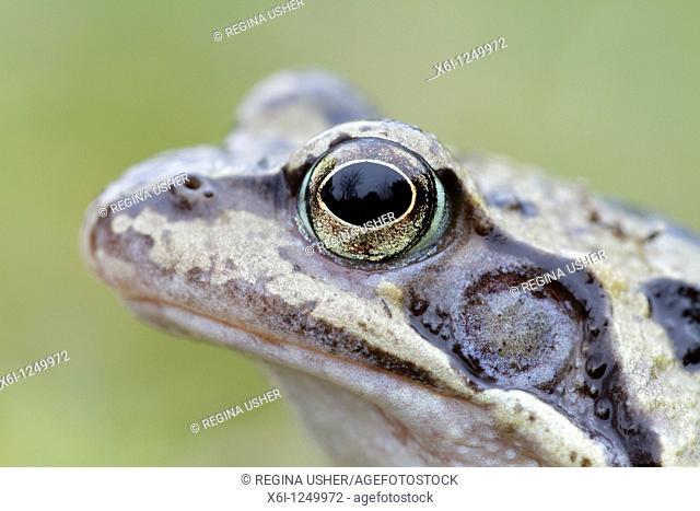 Common Frog Rana temporaria, close up study of head, Germany