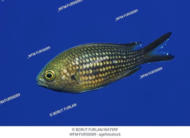 Mediterranean Damselfish, Chromis chromis, Triscavac Bay, Susac Island, Adriatic Sea, Croatia