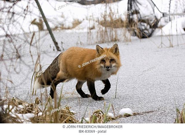 Red fox walking over a frozen river
