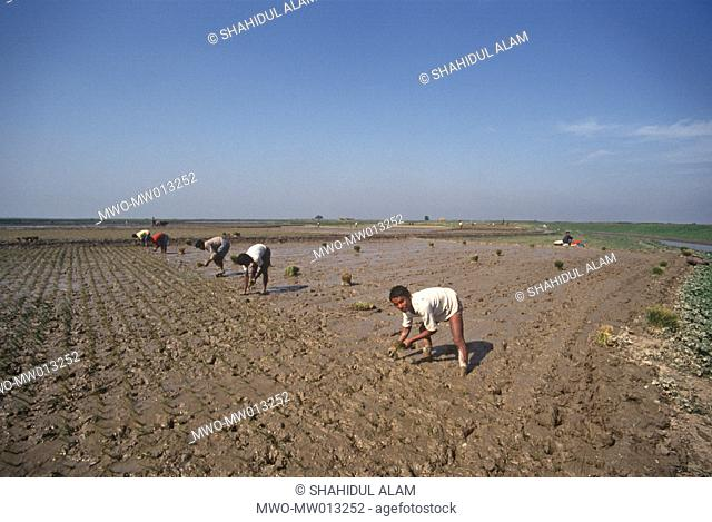 Farmers planting rice seedlings Norshingdi Bangladesh