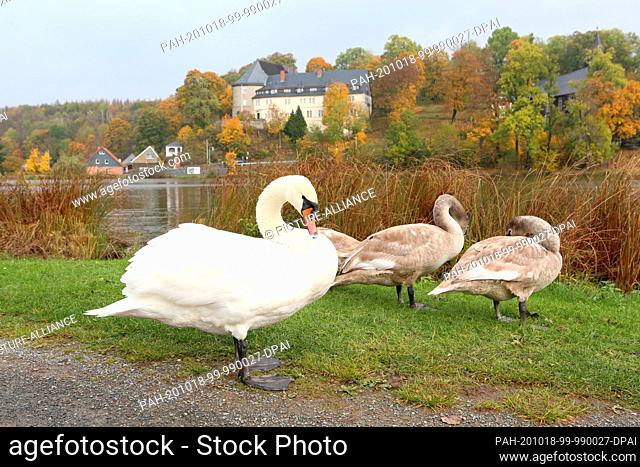 18 October 2020, Saxony-Anhalt, Stiege: A swan family sits at the Stieger Lake near the Stieger Castle in the picturesque village of Stiege in the Harz region