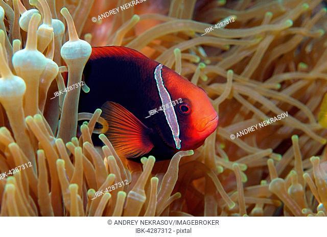 Cinnamon clownfish, red and black anemonefish, black-backed anemonefish or dusky anemonefish (Amphiprion melanopus), South China Sea, Pulau Redang Island