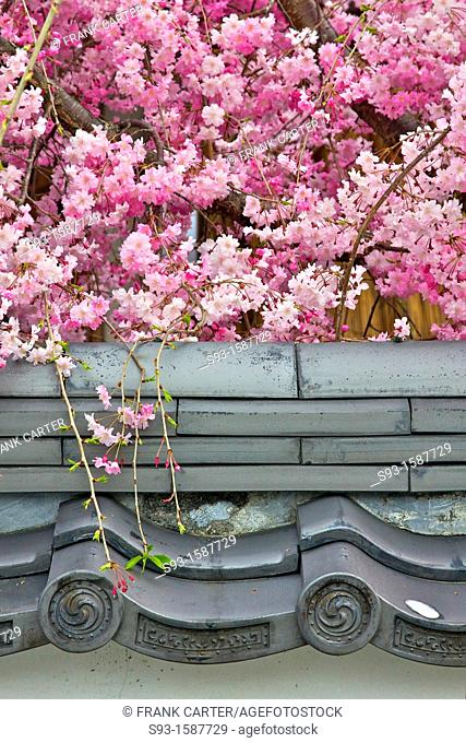 Cherry blossom trees in full bloom hanging over a temple wall