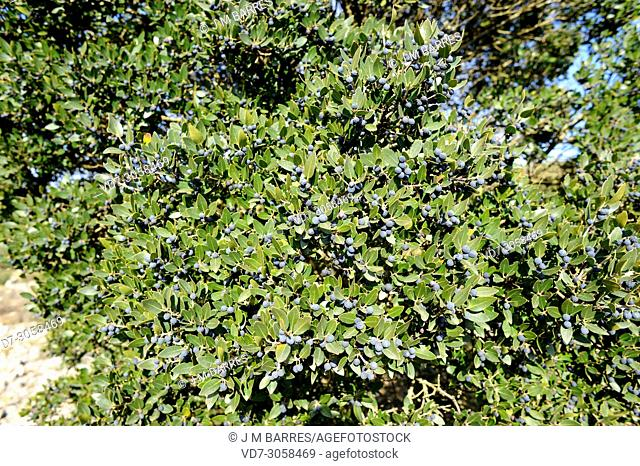 Green olive tree or mock privet (Phillyrea latifolia) is a perennial shrub native to Mediterranean Basin. Fruits and leaves detail