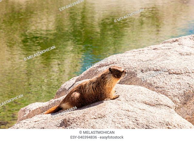 Yellow-bellied marmot lives in the western United States and southwestern Canada, including the Rocky Mountains and the Sierra Nevada
