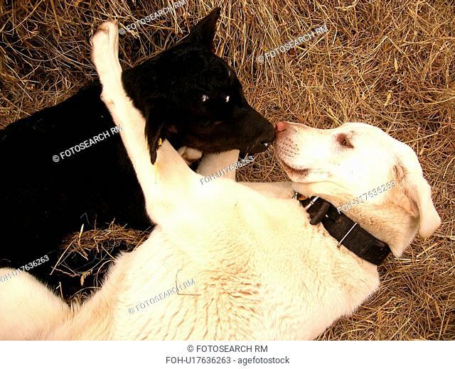 dog, calf, nose to nose, Anatolian Shepard, Black Angus, Blue Ridge Parkway, Virginia, VA