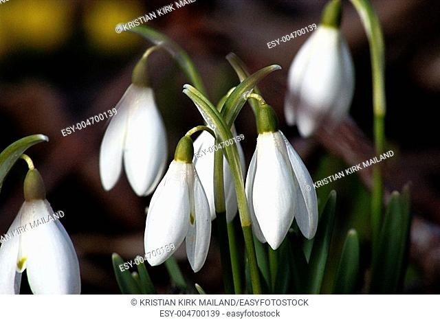 Early spring, snowdrops