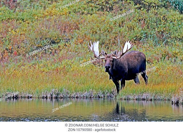 Elch, das Wachstum der Geweihe ist nach circa 5 Monaten abgeschlossen - (Alaska-Elch - Foto Elchschaufler an einem Tundrasee) / Moose