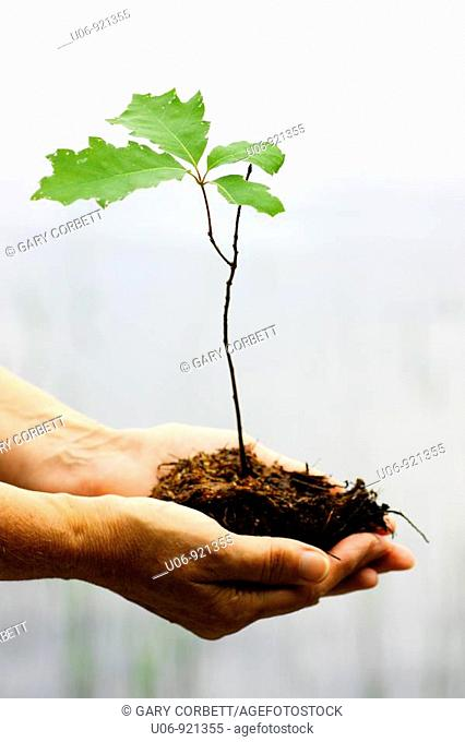 a person holding an oak tree seeding in cupped hands