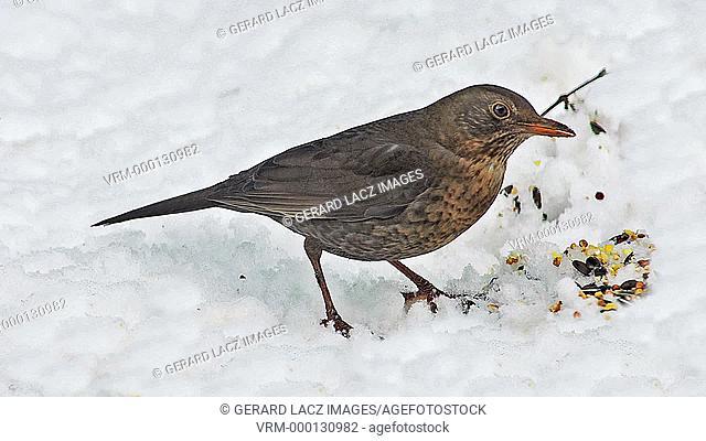 Blackbird, turdus merula, Female eating Seeds on snow, Normandy, real Time