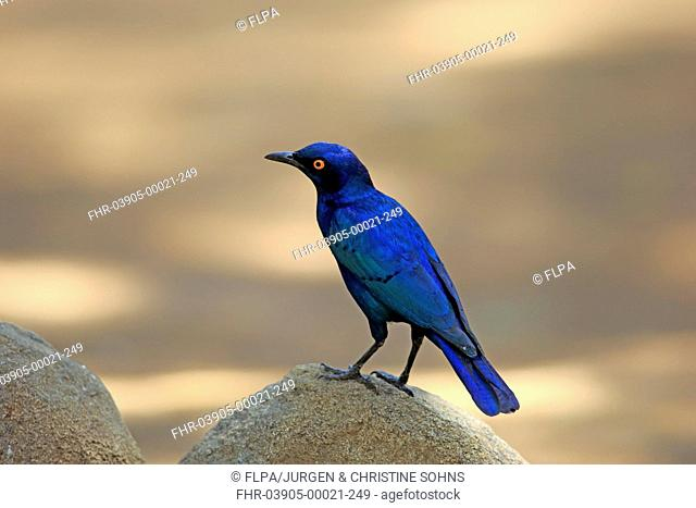 Cape Glossy-starling (Lamprotornis nitens) adult, standing on rock, Kruger N.P., Great Limpopo Transfrontier Park, South Africa, November