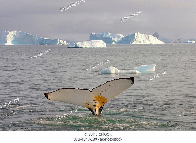 Humpback Whale's Flukes