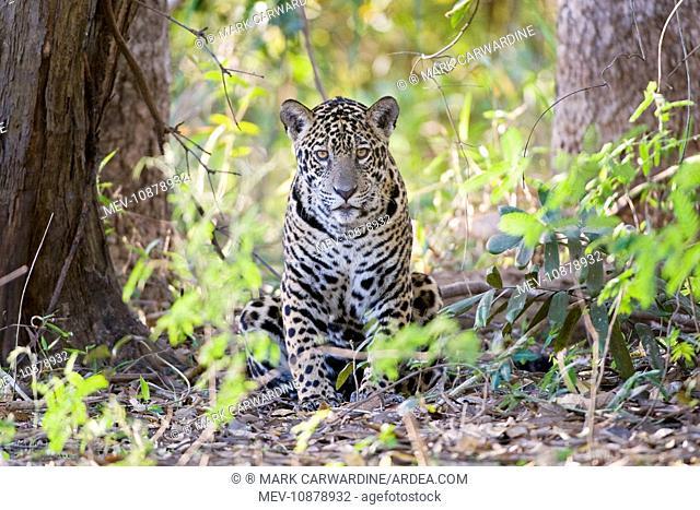 Jaguar - one year-old cub (Panthera onca). Cuiaba River - Pantanal - Brazil