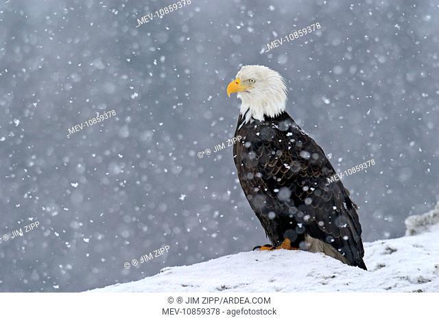 Adult Bald Eagle - in snow (Haliaeetus leucocephalus). Homer Alaska. Distribution: Alaska, Canada and USA