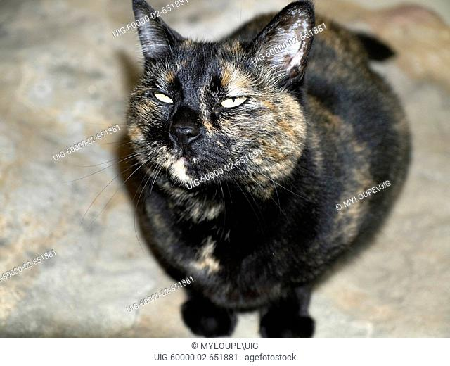 Tortoiseshell Calico cat with funny expression