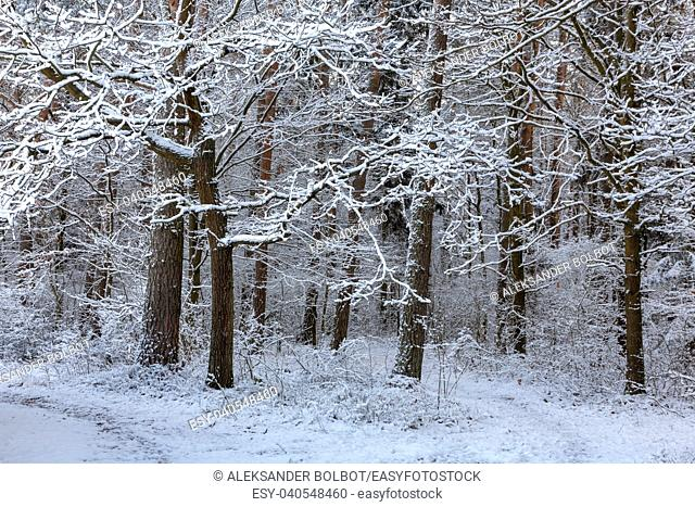Forest after snowfall with snow wrapped pines, Bialowieza Forest, Poland, Europe