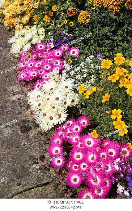 90900327, Mesembryanthemum, Marigolds, Dorotheanth
