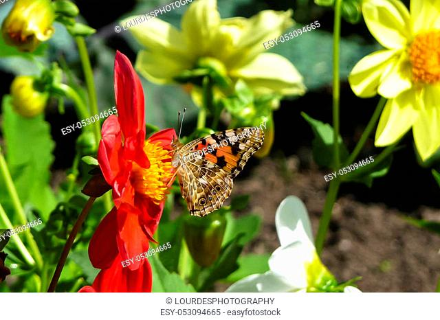 Painted Lady butterfly, Vanessa cardui, nectaring on red Dahlia flower with underwings showing