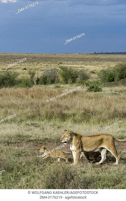 A lioness (Panthera leo) with cubs is stalking through the high grass in the Masai Mara National Reserve in Kenya looking for prey