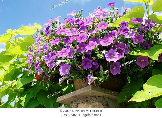Petunia-Hybride, Petunie