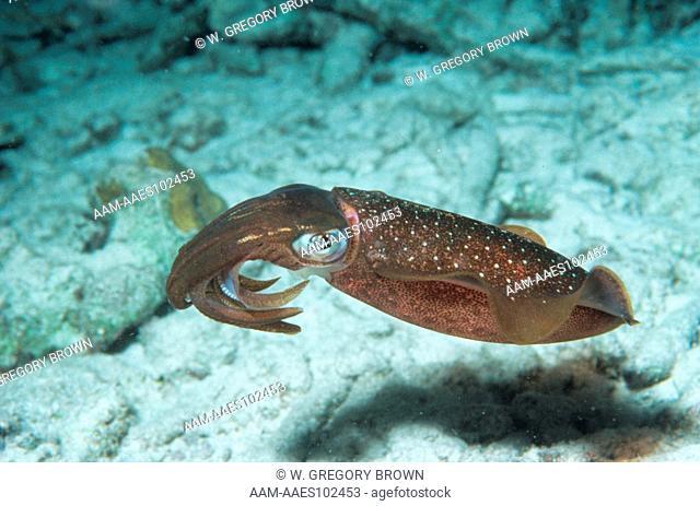 Reef Squid, noctural (Sepioteuthis sepioidea), Caribbean