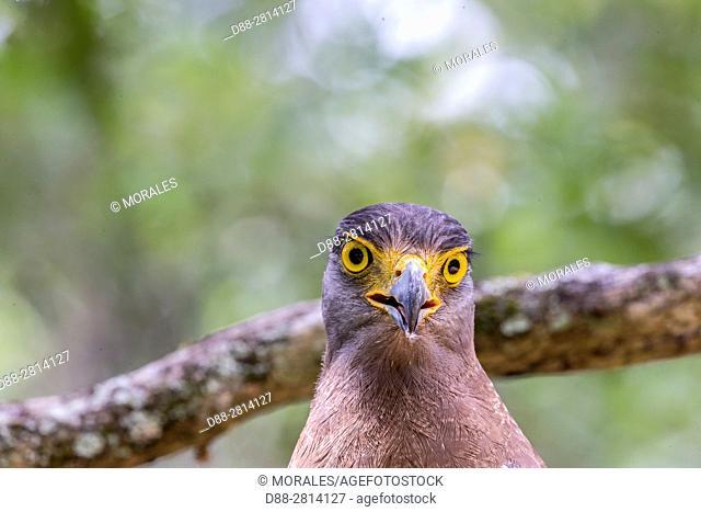 Sri Lanka, Wilpattu national patk, Crested Serpent Eagle (Spilornis cheela)