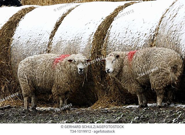 Schafe im Schnee  Hausschafe , Ovis aries, Schleswig-Holstein  Deutschland , Sheaps in snow  Domestic Cheaps , Ovis aries, Schleswig-Holstein  Germany