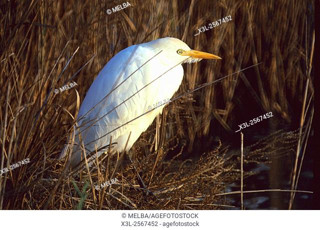 Bubulcus ibis. Cattle Egret. European bird